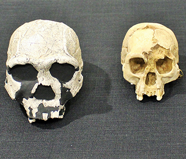 Exhibit: Human Evolution: Hot Topics in Paleoanthropology